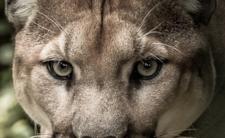 Puma poluje w Polsce? Żarty się skończył, pokazali nagranie wideo