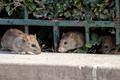 Nadciąga plaga szczurów? Opanowały miasto, gryzą ludzi