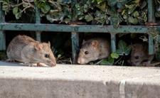 Wrocław walczy z plagą szczurów