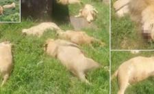 Kłusownicy zabili nawet małe lwiątka - zrobią z nich eliksiry dla szamanów?