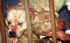 Agresywne psy czy obrońcy domu? Pitbulle zabiły nastolatka