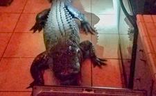 Aligator włamał się do domu - postanowił rozwalać co się naWINIE