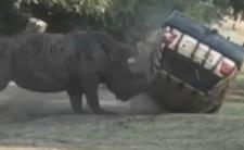 Atak nosorożca w zoo w Europie - Golf III nie przetrwał
