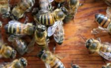 Użądlenie pszczoły i śmierć na pogrzebie - sprawę bada policja