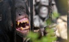 Miłość z małpą. Kobieta kocha szympansa i niszczy mu życie
