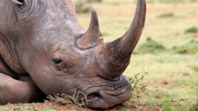"""Turyści zaatakowali nosorożca. Wyryli mu """"pamiatkę"""" na skórze"""