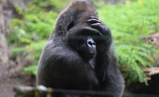 Koronawirus zaatakował goryle