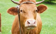 Krowie łajno ostatnią deską ratunku?