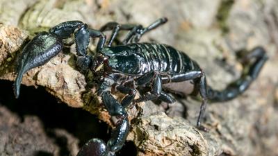 Inwazja skorpionów. W wielu miastach zapanowała groza