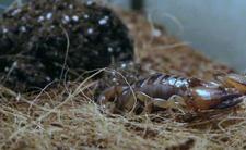 Warszawa: Skorpion w mieszkaniu