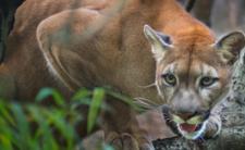 Puma rzuciła się na 8-latka. Ojciec wyrwał głowę syna z jej paszczy