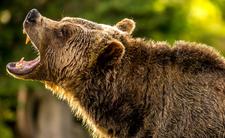 Śmiertelny atak niedźwiedzia w Rosji