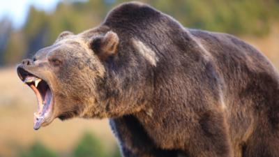 Niedźwiedzie rozszarpały dziecko