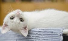 Koronawirus SARS-COV-2 u zwierząt domowych. Koty zakażone!