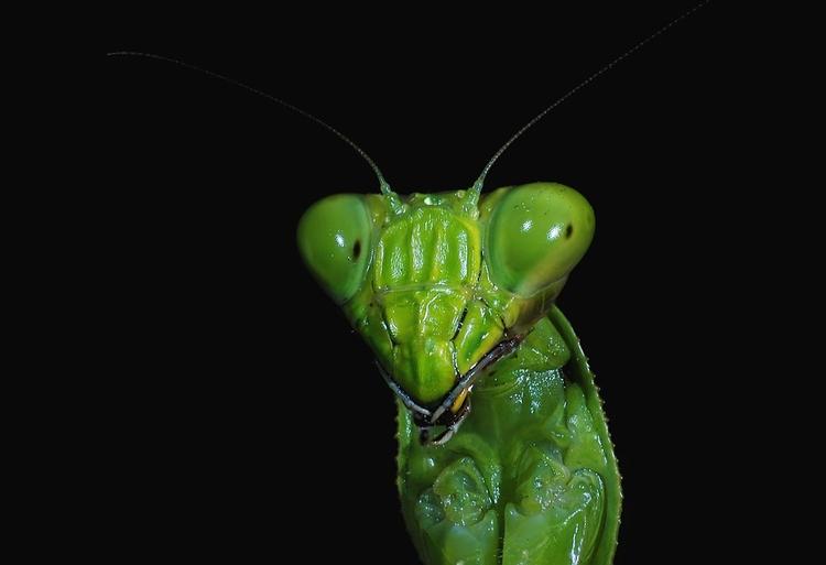 mantis-2634337_960_720pixabay