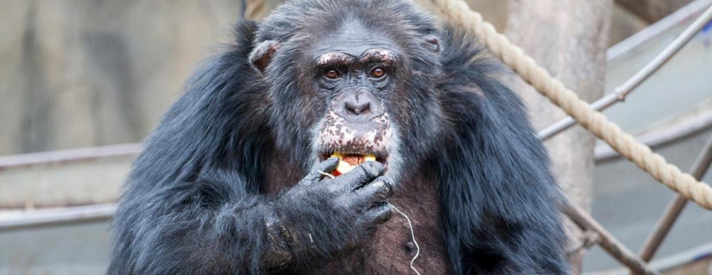 Wrzucili narkotyki na wybieg dla małp w zoo - szympans Julius otruty