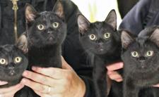 Wietnam i lekarstwo na koronawirusa - jedzą czarne koty na odporność