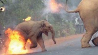 W Indiach słonie przepędza się ogniem. W Afryce moga być przerabiane na karmę dla zwierząt