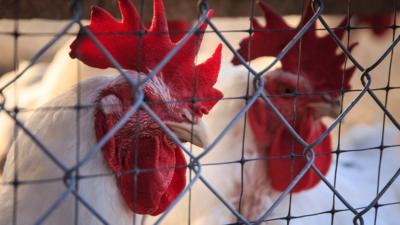 Ptasia grypa w Europie - kolejne kraje z H5N8