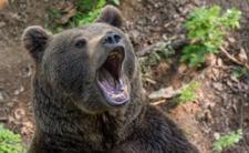 Niedźwiedź obdarł mężczyznę ze skóry. Makabra w środku lasu