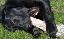 Rozwścieczony labrador odgryzł dziewczynce pół twarzy