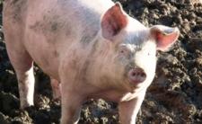 Śmierć dziecka w Indiach - chłopca zjadły agresywne świnie