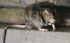 Zaproś szczura do domu, daj się pogryźć pluskwom - politycy ze Strasburga chcą sympatii dla szkodników