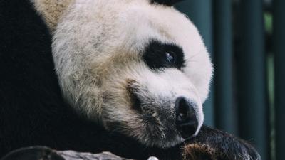 Turyści zgotowali pandzie piekło. Wszystko nagrali telefonem [WIDEO]