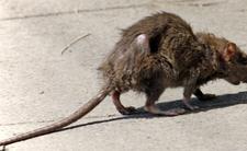 Agresywne szczury opanowują miasta przez pandemię. Są głodne, atakują