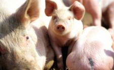 Krwawy brexit. Wielka Brytania nie ma rzeźników, więc zabija więcej świń